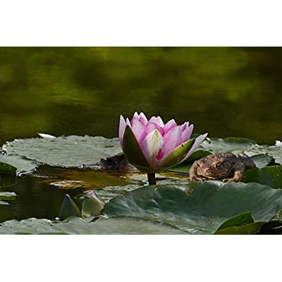 ING Wall Art Print on Canvas(32x21 inches)- Plant Aquatic Plant Water Lily Nymphaea Purple: Home & Kitchen