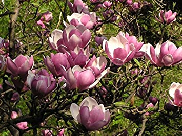 Amazon Com Saucer Magnolia Tree Magnolia Soulangeana 10 Seeds