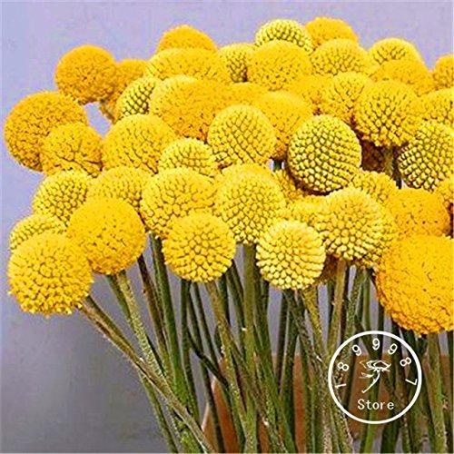 Seeds Shopp 100 Pieces/Lot Heirloom Craspedia Globosa Drumstick Perennial Billy Buttons Garden Yellow Flower ()