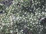 Amelanchier Utahensis Utah Serviceberry 3 Plants!