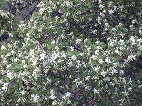 Amelanchier Utahensis Utah Serviceberry 3 Plants! by Colorado Hardy Plants