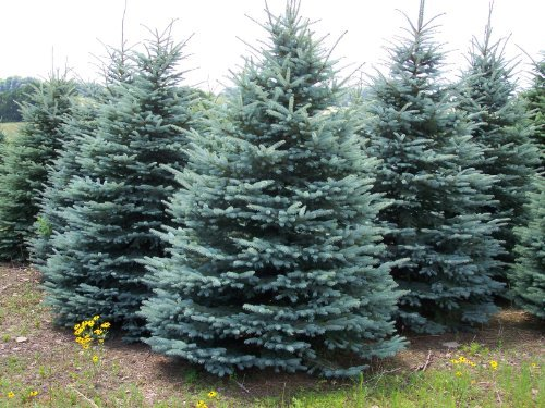- 25 Colorado Blue Spruce, Picea pungens glauca, Tree Seeds EXCELLENT BONSAI SPECIMEN or Charismas Tree