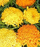 Marigold Flower seeds Fantastic MIX (TAgetes erecta) from Ukraine