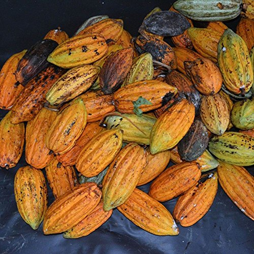 LOadSEcr's Garden 40Pcs Cocoa Fruit Seeds Tree Germination Seeds Non-GMO Ornamental Plants Yard Office Decoration, Open Pollinated - Fruit Cocoa