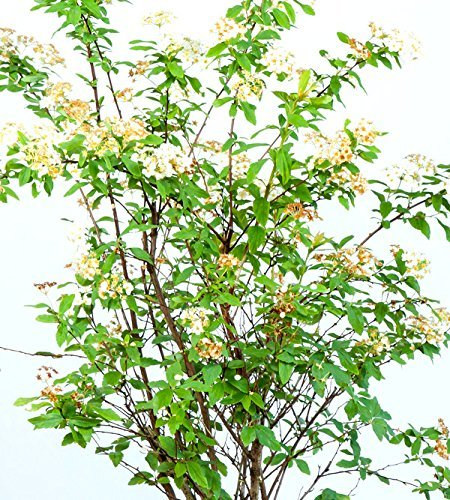 Bridal Wreath SPIREA - Size: 1 Gallon, Live Plant, Includes Special Blend Fertilizer & Planting Guide by PERFECT PLANTS (Image #3)