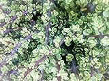 Portulacaria afra 'Variegata' Jade Plant - Elephant Bush