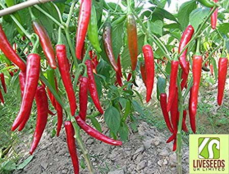 Liveseeds Kashmiri Mirch Chilli Pepper 10 seeds