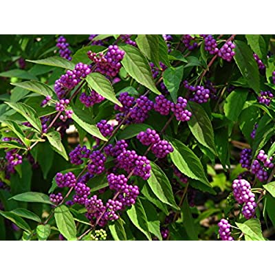 """(2 Gallon) Callicarpa""""Issai"""" (Japanese Dwarf Beautyberry) Attractive Foliage, Gorgeous Bright Purple Berries. Great for Shrubs, Hedges and Borders : Garden & Outdoor"""