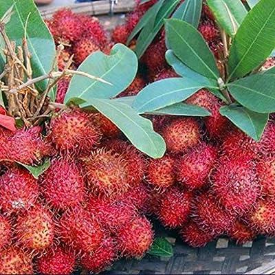 Dserw 5Pcs Nephelium Lappaceum Seeds Delicious Rambutan Fruit Family Garden Yard Bonsai Decorative Fruit Plant : Garden & Outdoor