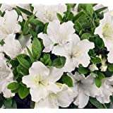 White Bloom-A-Thon® Everblooming Azalea - Everblooming - Proven Winners