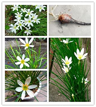Green Seeds Co 2bulb Zephyranthes Candida Zwiebel Orchidee Birne