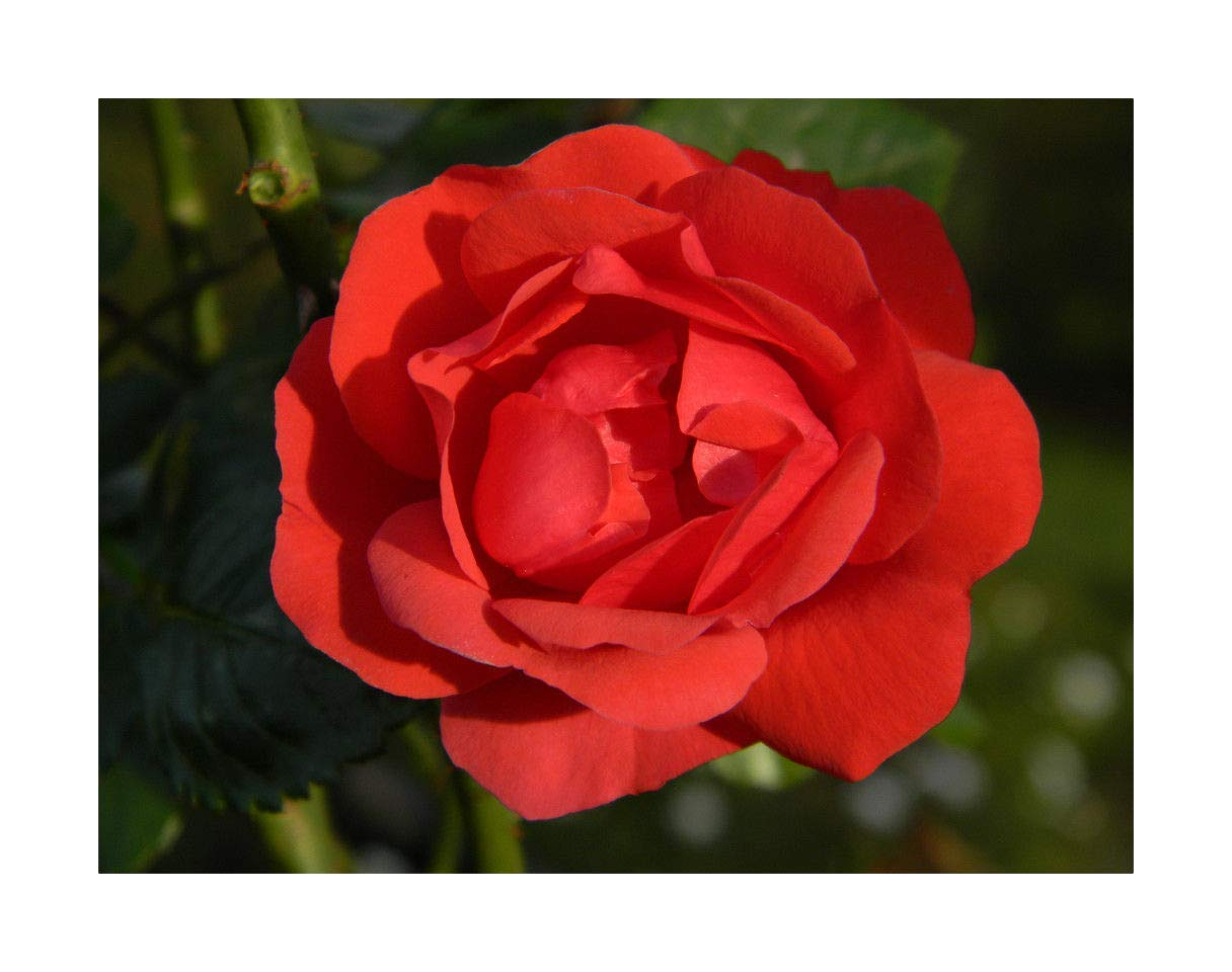 Rambling Rose Bare Root Plant 'Super Elfin Red Repeat Flowering Roses by Plug Plants Express Limited