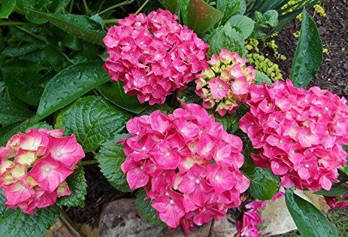 Glowing Embers Pink Mophead Hydrangea - Live Plant - Quart Pot