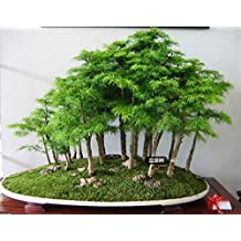 100 Pcs/bag Juniper Bonsai Tree Seeds Potted Purify the Air Absorption Radiation Pine Tree Seeds Home Garden