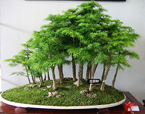 100 Pcs/bag Juniper Bonsai Tree Seeds Potted Purify the Air Absorption Radiation Pine Tree Seeds Home Garden SVI