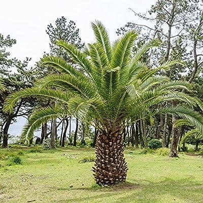 Semillas de la palmera datilera de Canary Island - Phoenix canariensis: Amazon.es: Jardín