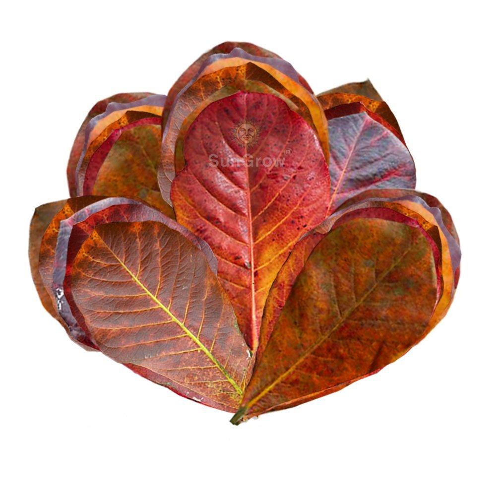 Amazon.com : 50 Mini Catappa Leaves - Best way to create Tropical ...