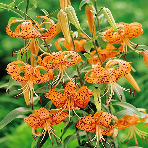 Lilium lancifolium Splendens Tiger Lily - 3 flower bulbs - Tiger Lily Flower