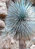 BEAKED YUCCA, yuca rostrata Big Bend agave garden aloe tree like seed 50 SEEDS