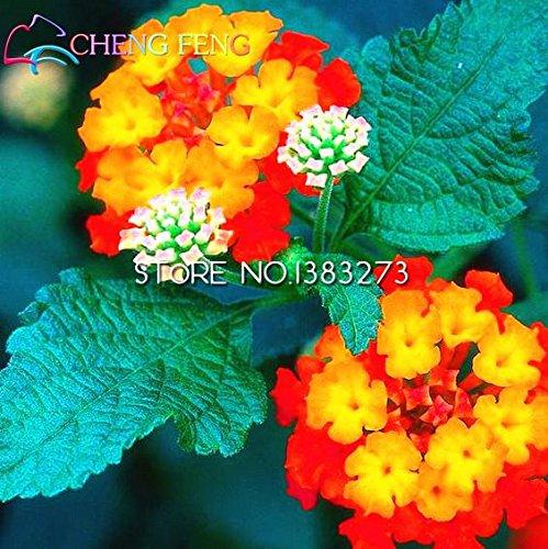 100pcs / bag del arco iris Rarest Lantana semillas de calidad superior fácil de cultivar plantas Bonsai jardín de DIY SVI