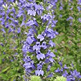 Everwilde Farms - 2000 Great Blue Lobelia Native Wildflower Seeds - Gold Vault Jumbo Seed Packet