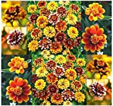 4 Packs x 250 Persian Carpet Mexican Zinnia Mix Seed - Persian Carpet Mix ZINNIA SEEDS - Bicolored Dahlia-like Blooms - 60-70 days - ZONE 3-10 - By MySeeds.Co