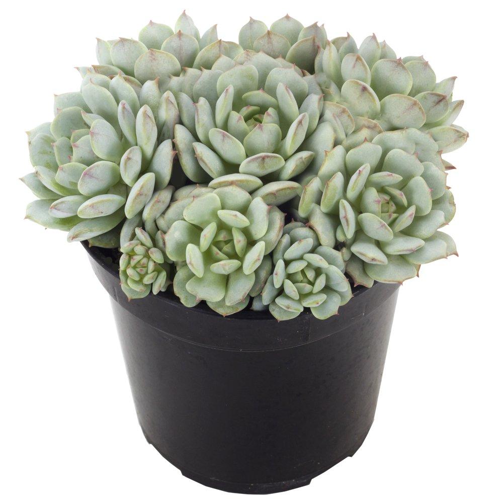 Altman Plants Assorted Live Succulents Flowering Rosette Collection Echeveria, sedeveria, perfect for party favors and arrangements, 3.5'', 9 Pack by Altman Plants (Image #8)