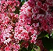 "Peppermint Lace Crape Myrtle Lagerstroemia indica ""Nana"" 5\"