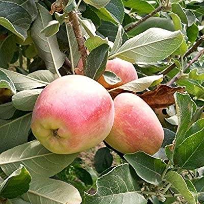 (5 Gallon) Anna Apple Tree, Fruit are Medium to Large, with Green Skin Overlaid with red, Crisp, Good Flavor, and ripens Early : Garden & Outdoor