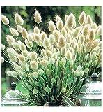 ORNAMENTAL GRASS - LAGURUS OVATUS - BUNNY TAILS - 0.65 GRAM ~ APPROX 1300 SEEDS