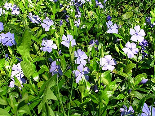 Greenwood Nursery Vinca Minor Evergreen Ground Cover