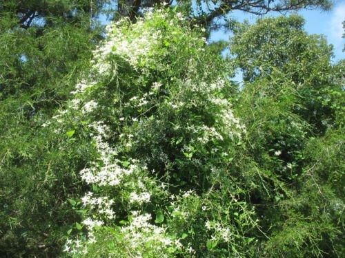 CLEMATIS PANICULATA-SWEET AUTUMN CLEMATIS- STARTER PLANT