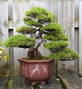 A Semillas Paquete 50 PC Azul Abeto Picea árbol en maceta Planta de los bonsais Patio Jardín de árbol de pino siembra el envío libre
