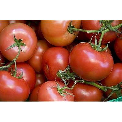 Tomato Rutgers Great Heirloom Garden Vegetable Bulk 1 Lb Seeds : Garden & Outdoor