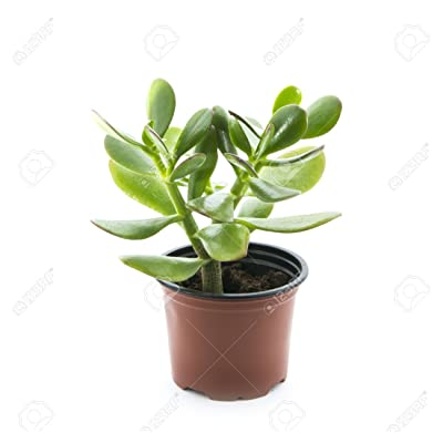"""'Hobbit' Jade Plant - Crassula ovuta - Easy to Grow - 4"""" Pot : Succulent Plants : Garden & Outdoor"""
