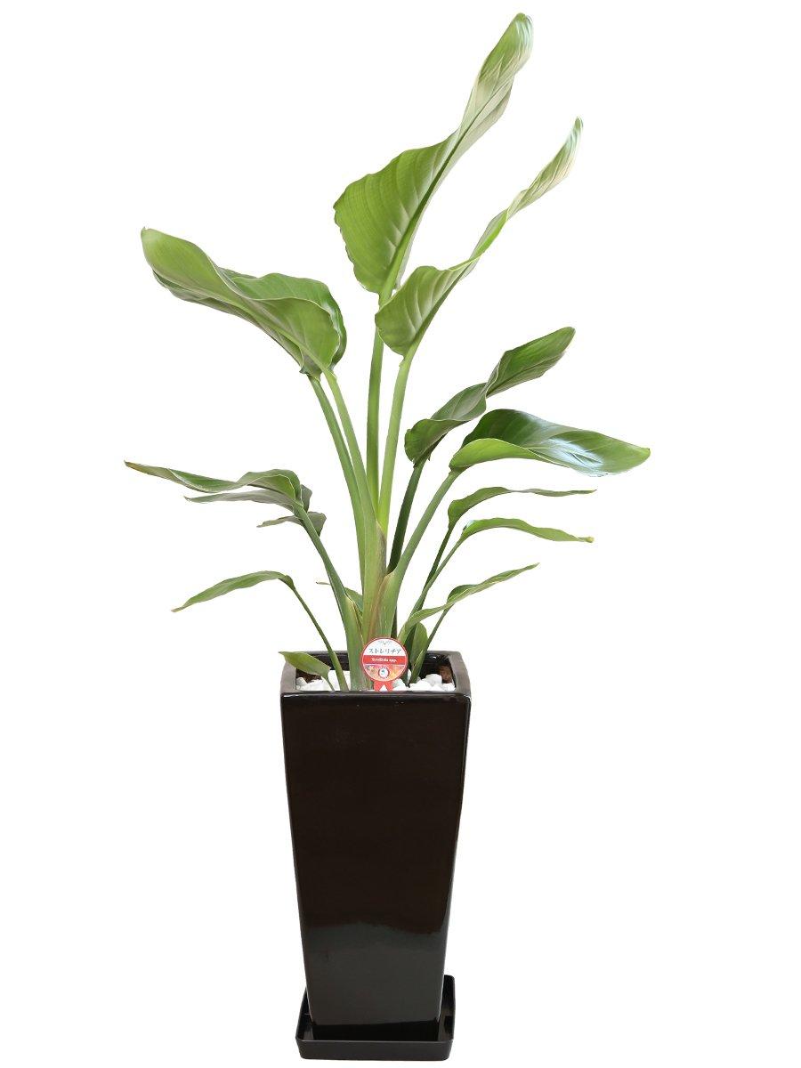 観葉植物 オーガスタ7号角高陶器鉢(黒) B00NCXJLTI 黒 黒