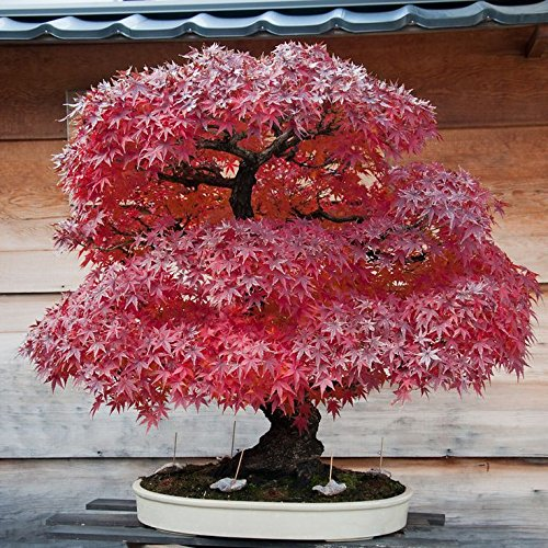 (50 Seeds Japanese Maple Bonsai Tree Red Maple Gorgeous Color 100% Real Seeds)