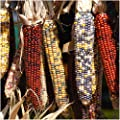 "Package of 200 Seeds, Ornamental Corn ""Indian Mixture"" (Zea mays) Non-GMO Seeds By Seeds"