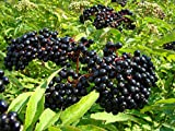 owzoneplant 1 Plant in 2 Gallon Pot Wilder Native Elderberry Bush - Fruit Shrub