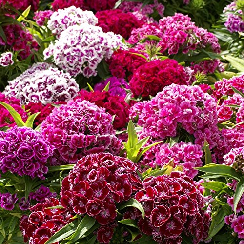 Sweet William Seeds - Tall Double Mix - Packet, Red/White/Pink Flowers