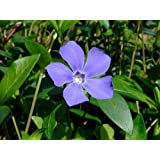 "Myrtle 48 Plants - Periwinkle/Vinca - Hardy Groundcover - 1 3/4"" Pots"