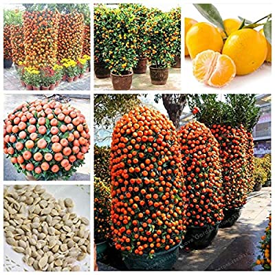 AGROBITS 30 Pcs Citrus Reticulata Orange Bonsai Dwarf Bonsai Mandarin Orange Bonsai Edible Sweet Citrus Fruit Tree for Home Garden: Garden & Outdoor