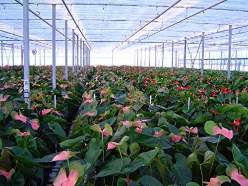 Anthurium Pink - Live House Plant - Easy to Grow - Florist Quality - Cleans the Air by Florida Foliage (Image #2)'