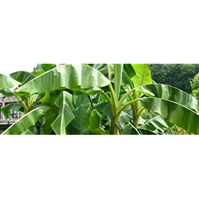 1 Starter Plant of Musa Gros Michel Heirloom Banana Tree Live Tree : Garden & Outdoor