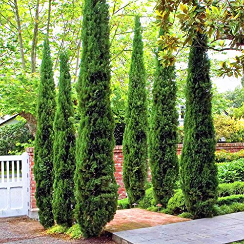 30 Bonsai Tree Seeds Rare Incense Cypress Seeds Auspicious Noble Conifer Plant ()