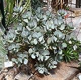 """Crassula Arborescens Ssp Arborescens """"Silver Dollar Plant"""" x Fresh Seed"""