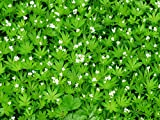 Laminated 32x24 inches Poster: Woodruff Blossom Bloom White Leaf Stalk Green Galium Odoratum Forest Plant Galium Deciduous Forest Coumarin Medicinal Plant Tasty Plant