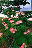 25 MIMOSA / PERSIAN SILK TREE Albizia Julibrissin Seeds