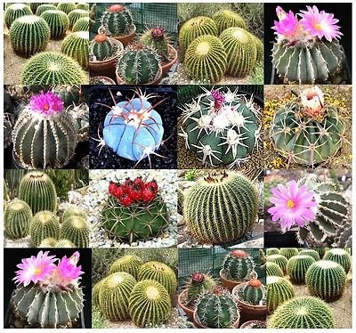 Barrel Cactus Seeds - (20) ECHINOCACTUS SPECIES Mixed SEEDS - Golden Barrel Cactus