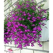 Seeds Purple Trailing Lilovyy (Lobelia pendula) Organic Flower Seed